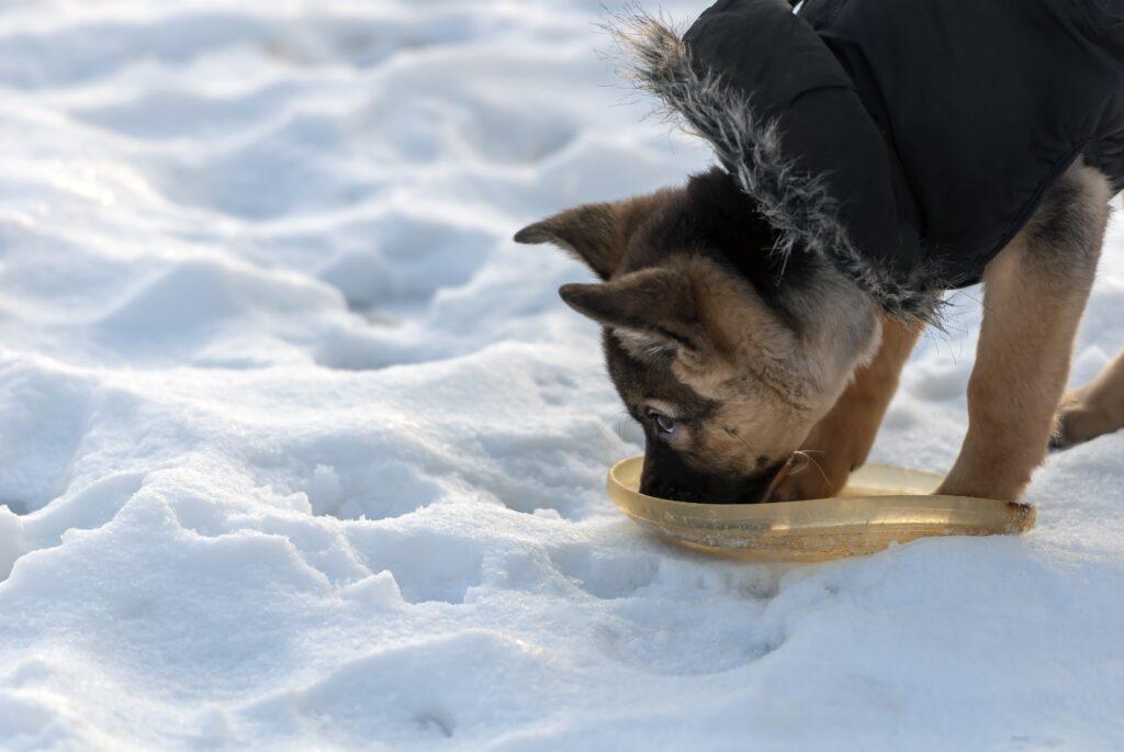 pes pije vodu v zimě